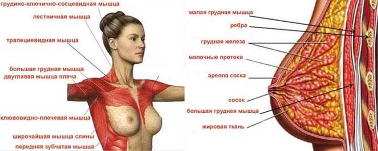 мышцы груди женщины