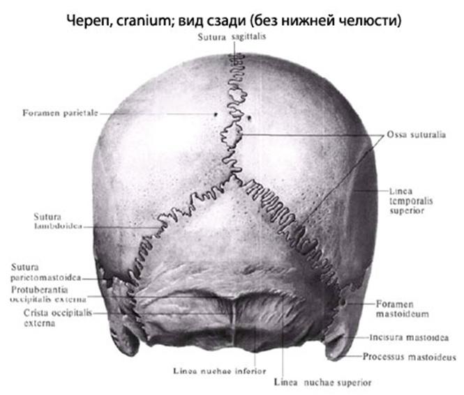 вид сзади череп человека