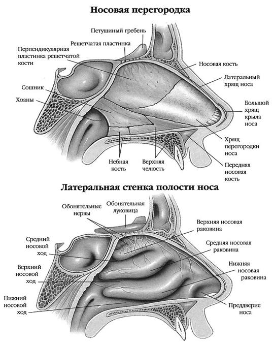 схема строения носа человека