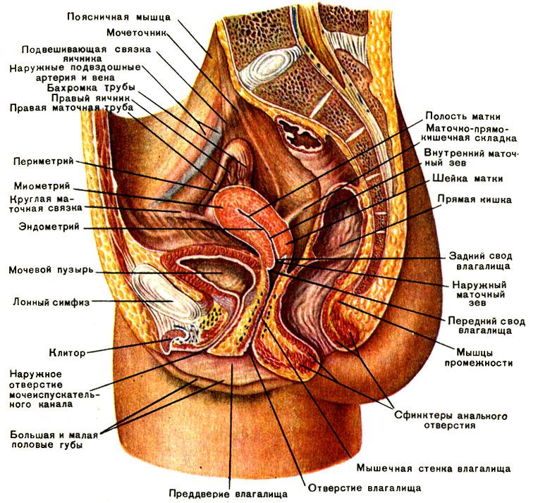 строение органов малого таза женщин