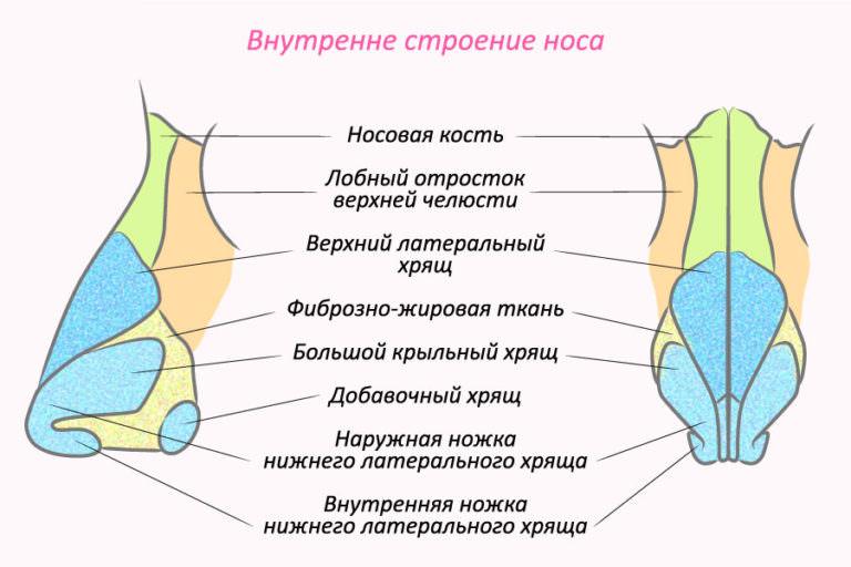 внутреннее строение наружной части носа